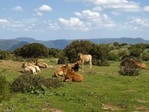 Cows in the southeast of Sardinia Stock Photography