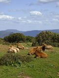 Cows in the southeast of Sardinia Royalty Free Stock Image