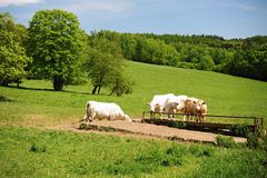 Cows on the spring green meadow Stock Photography