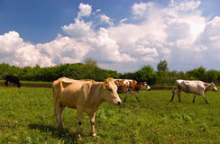 Cows in the spring meadow Royalty Free Stock Images