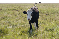 Cows in St. Peter-Ording Stock Photography