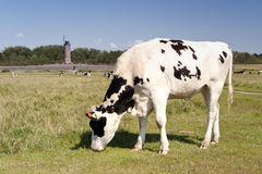 Cows in St. Peter-Ording Royalty Free Stock Image