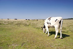 Cows in St. Peter-Ording Royalty Free Stock Photo