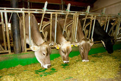 Cows in the stable Stock Image