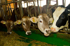 Cows in the stable Royalty Free Stock Photos