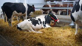 Cows in Stable. Cows lying on the straw in the stable stock images