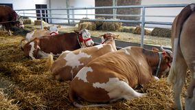 Cows in Stable. Cows on the straw in the stable royalty free stock image
