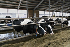 Cows in a stable. Royalty Free Stock Images