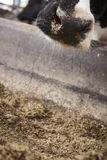 Cows in a stable. Pictures from a open stable with cows eating and a automatic milking machine Stock Photography