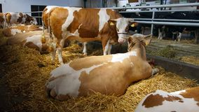 Cows in Stable. Cows on the straw in the stable stock images