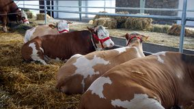 Cows in Stable. Cows on the straw in the stable royalty free stock photo