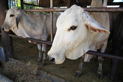 Cows in stable of Thai temple Stock Photography