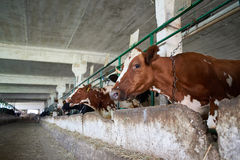 Cows in stalls at dairy farm Royalty Free Stock Photos
