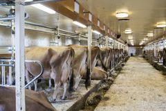 Cows in stalls  in milking barn. Cows standing in milking stalls of dairy barn Stock Image