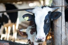 Cows stand in a farm. Stall royalty free stock image