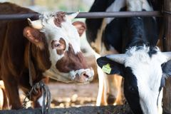 Cows stand in a farm. Stall stock photos