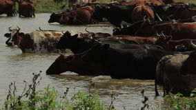 Cows Stand in a Water. Herd of cows stand in a water and cool down 1080p, 25fps stock video