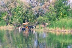 Cows stand in the water on a hot day royalty free stock photos