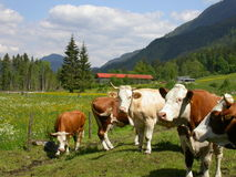 Cows standing around. On a meadow stock image