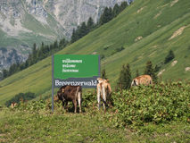 Cows standing around the Bregenzwald sign. SCHROECKEN, AUSTRIA, JUNE 30: Some cows standing by the Bregenzerwald sign in Austria, 2015 stock photography