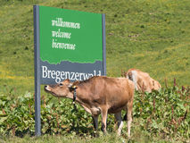 Cows standing around the Bregenzwald sign. SCHROECKEN, AUSTRIA, JUNE 30: Some cows standing by the Bregenzerwald sign in Austria, 2015 royalty free stock photos