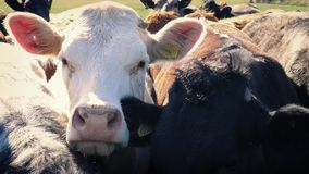 Cows Standing Close Together stock video footage