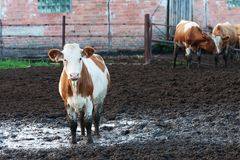 Cows standing in the dirt on a cattle farm. Stock Photos