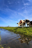 Cows standing at a ditch Royalty Free Stock Photos