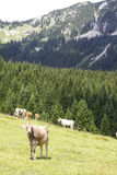 Cows standing in field near mountain in Tirol Stock Photos