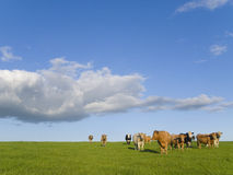 Cows standing in field under clouds in blue sky Stock Photo