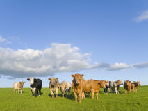Cows standing in field under clouds in blue sky Stock Images