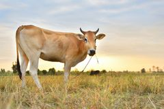 The cows Standing in the fields at sunrise and the beautiful sky.  Royalty Free Stock Photo