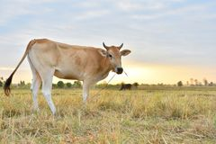 The cows Standing in the fields at sunrise and the beautiful sky.  Stock Photos