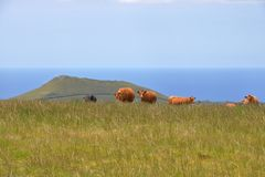 Cows standing in front of vulcanic hills royalty free stock photos