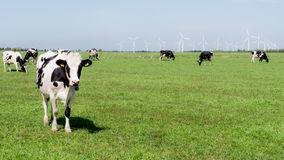 Cows standing in a green field with wind turbines in background Royalty Free Stock Photography