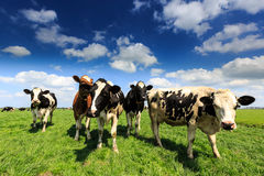 Cows Standing In A Grassland In Holland Royalty Free Stock Photos