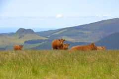 Cows standing in front of vulcanic hills royalty free stock photography