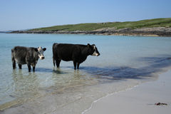 Cows standing in sea Stock Photo