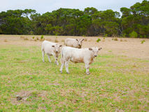 Cows staring at the camera Royalty Free Stock Photography