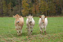 Cows staring Stock Image