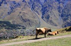 The cows in Stepantsminda town (Georgia) Stock Images