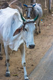 Cows on street of India. Royalty Free Stock Images