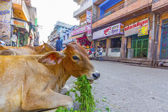 Cows in a street in Jodhpur, India Royalty Free Stock Image