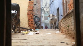 Cows at street in Varanasi, with man passing by. stock video