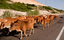 Cows at a street in Vietnam. Royalty Free Stock Photo