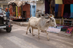 Cows strolling around in the city of Pushkar, India Royalty Free Stock Images