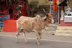 Cows strolling around in the city of Pushkar, India Stock Photography