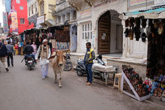 Cows strolling around in the city of Pushkar, India Royalty Free Stock Photo