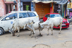 Cows strolling around in the city Stock Photo
