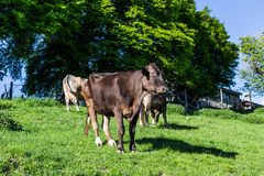 Cows at summer green field Royalty Free Stock Image